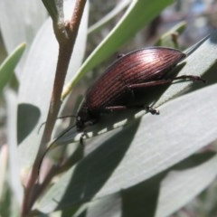 Homotrysis cisteloides (Darkling beetle) at ANBG - 3 Nov 2020 by Christine
