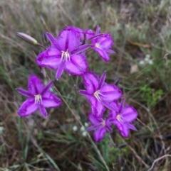 Thysanotus tuberosus subsp. tuberosus (Common Fringe-lily) at Lower Boro, NSW - 5 Nov 2020 by mcleana