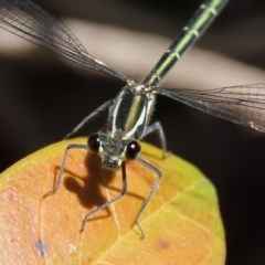 Austroargiolestes icteromelas (Common Flatwing) at ANBG - 3 Nov 2020 by RodDeb