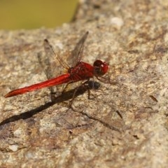 Diplacodes haematodes (Scarlet Percher) at National Zoo and Aquarium - 4 Nov 2020 by RodDeb