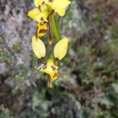 Diuris sulphurea (Tiger orchid) at Black Flat at Corrowong - 4 Nov 2020 by BlackFlat