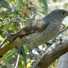 Ptilonorhynchus violaceus (Satin Bowerbird) at Deakin, ACT - 2 Nov 2020 by AdventureGirl
