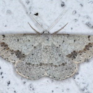 Taxeotis intextata at Ainslie, ACT - 4 Nov 2020