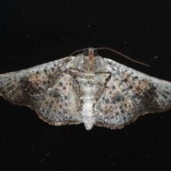 Aglaopus centiginosa at Ainslie, ACT - 4 Nov 2020