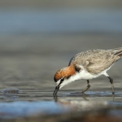 Charadrius ruficapillus (Red-capped Plover) at Tathra, NSW - 3 Nov 2020 by Leo
