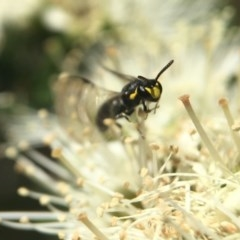 Hylaeus (Gnathoprosopoides) bituberculatus (Hylaeine colletid bee) at ANBG - 2 Nov 2020 by PeterA