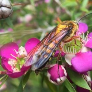 Catocheilus sp. (genus) at ANBG - 2 Nov 2020