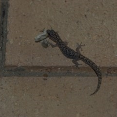 Christinus marmoratus (Southern Marbled Gecko) at Higgins, ACT - 17 Oct 2020 by Alison Milton