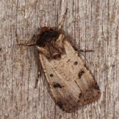 Agrotis porphyricollis (Variable Cutworm) at Melba, ACT - 2 Nov 2020 by kasiaaus