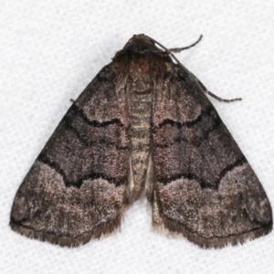 Dysbatus undescribed species at Melba, ACT - 2 Nov 2020