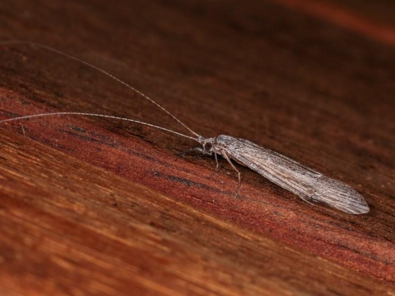 Trichoptera sp. (order) at Melba, ACT - 2 Nov 2020