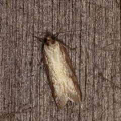 Oecophorinae (subfamily) (Unidentified Oecophorinae concealer moth) at Melba, ACT - 2 Nov 2020 by kasiaaus