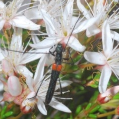 Oroderes humeralis (A longhorn beetle) at Black Mountain - 1 Nov 2020 by Harrisi