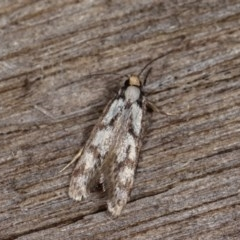 Eusemocosma pruinosa (A Concealer moth) at Melba, ACT - 2 Nov 2020 by kasiaaus