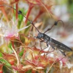 Tropis sp. (genus) (Longhorn or longicorn beetle) at Black Mountain - 1 Nov 2020 by Harrisi