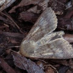 Helicoverpa (genus) at Melba, ACT - 2 Nov 2020