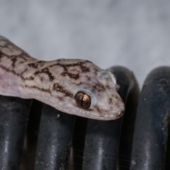 Christinus marmoratus (Southern Marbled Gecko) at Melba, ACT - 2 Nov 2020 by kasiaaus