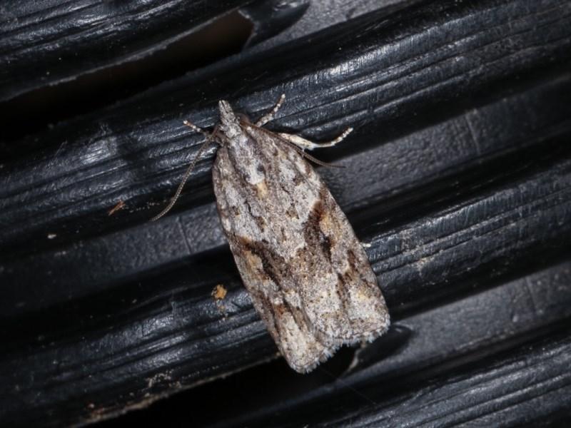 Acropolitis rudisana at Melba, ACT - 2 Nov 2020