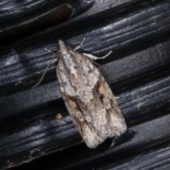 Acropolitis rudisana (A leafroller moth) at Melba, ACT - 2 Nov 2020 by kasiaaus