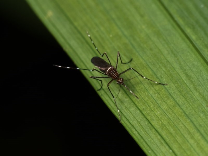 Aedes (Rampamyia) notoscriptus at Melba, ACT - 2 Nov 2020