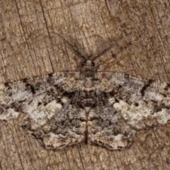 Unplaced externaria (Mahogany Bark Moth) at Melba, ACT - 2 Nov 2020 by kasiaaus