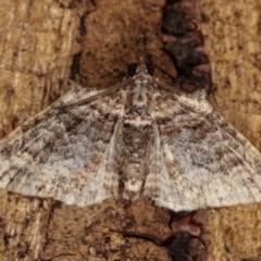 Phrissogonus laticostata (Apple looper moth) at Melba, ACT - 2 Nov 2020 by kasiaaus