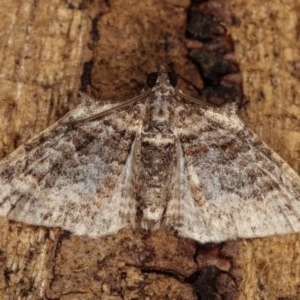 Phrissogonus laticostata at Melba, ACT - 2 Nov 2020