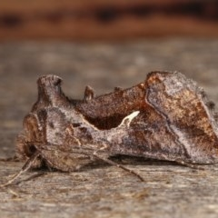 Chrysodeixis subsidens (A Noctuid moth) at Melba, ACT - 2 Nov 2020 by kasiaaus