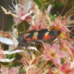 Castiarina sexplagiata (Six-spotted Castiarina jewel beetle) at Black Mountain - 2 Nov 2020 by Harrisi