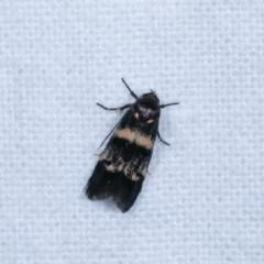 Crossophora semiota (A Concealer moth) at Melba, ACT - 2 Nov 2020 by kasiaaus