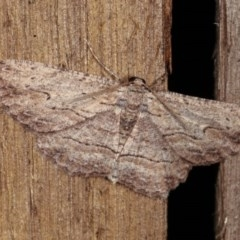 Ectropis excursaria (Common Bark Moth) at Melba, ACT - 2 Nov 2020 by kasiaaus