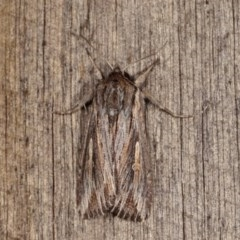 Persectania (genus) (A Noctuid moth) at Melba, ACT - 2 Nov 2020 by kasiaaus
