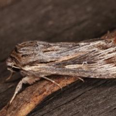 Persectania (genus) at Melba, ACT - 3 Nov 2020