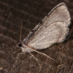 Psilosticha absorpta at Melba, ACT - 3 Nov 2020