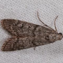 Heteromicta pachytera (Pyralid moth) at Melba, ACT - 2 Nov 2020 by kasiaaus