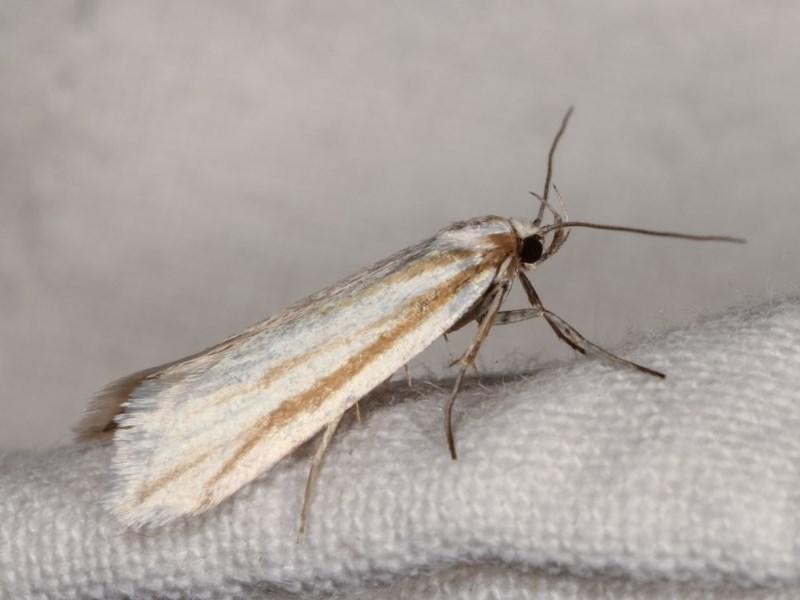 Philobota chionoptera at Melba, ACT - 3 Nov 2020