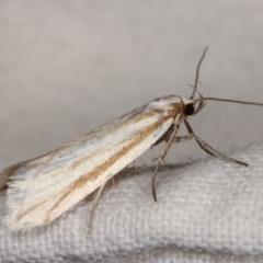 Philobota chionoptera (A concealer moth) at Melba, ACT - 2 Nov 2020 by kasiaaus
