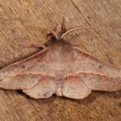 Antictenia punctunculus (A geometer moth) at Melba, ACT - 3 Nov 2020 by kasiaaus