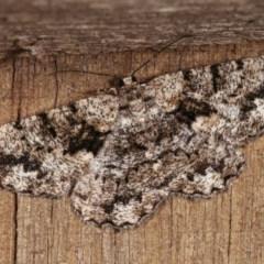 Unplaced externaria (Mahogany Bark Moth) at Melba, ACT - 3 Nov 2020 by kasiaaus