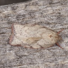 Euchaetis inceptella (A Concealer moth) at Melba, ACT - 3 Nov 2020 by kasiaaus