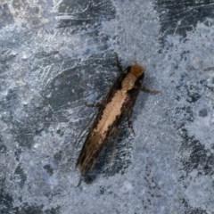 Monopis crocicapitella (Bird Nest Moth) at Melba, ACT - 3 Nov 2020 by kasiaaus