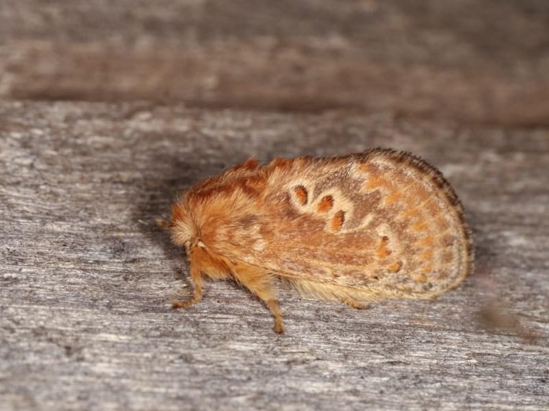 Pseudanapaea (genus) at Melba, ACT - 3 Nov 2020