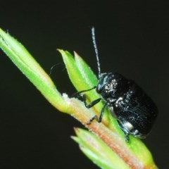 Aporocera (Aporocera) scabrosa (Leaf beetle) at Black Mountain - 4 Nov 2020 by Harrisi