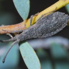 Agriopocoris sp. (genus) (Coreid bug) at Black Mountain - 4 Nov 2020 by Harrisi