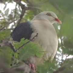 Columba leucomela (White-headed Pigeon) at Conder, ACT - 2 Nov 2020 by michaelb
