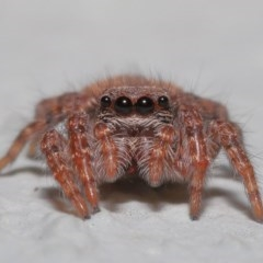 Servaea sp. (genus) (Unidentified Servaea jumping spider) at ANBG - 23 Oct 2020 by TimL