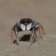 Apricia jovialis (Jovial jumping spider) at ANBG - 23 Oct 2020 by TimL