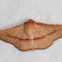 Aglaopus pyrrhata (Leaf Moth) at Melba, ACT - 3 Nov 2020 by kasiaaus