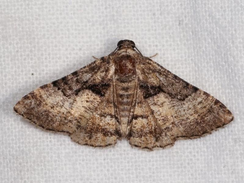 Aporoctena undescribed species at Melba, ACT - 3 Nov 2020