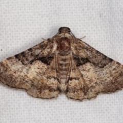 Aporoctena (genus) (A Geometrid moth) at Melba, ACT - 3 Nov 2020 by kasiaaus